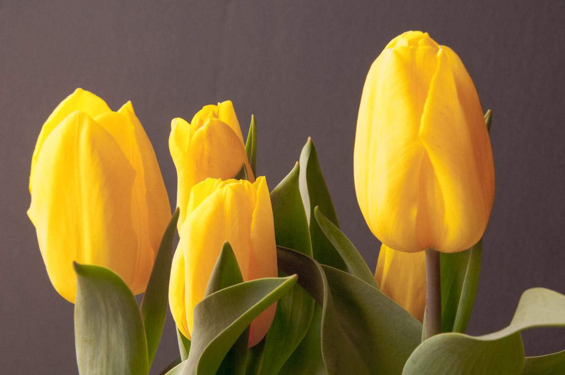 Tulip season j b berger photography blog for What season are tulips