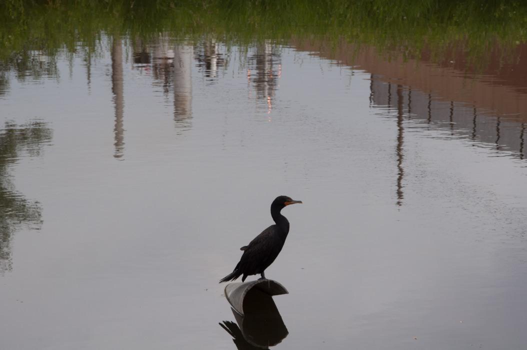 Cormorant in Town