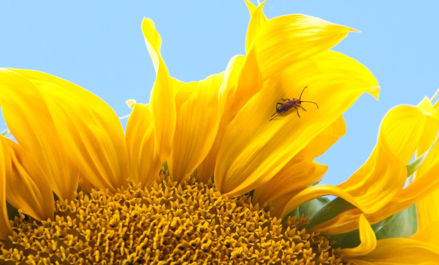 Visitor on the Sunflower