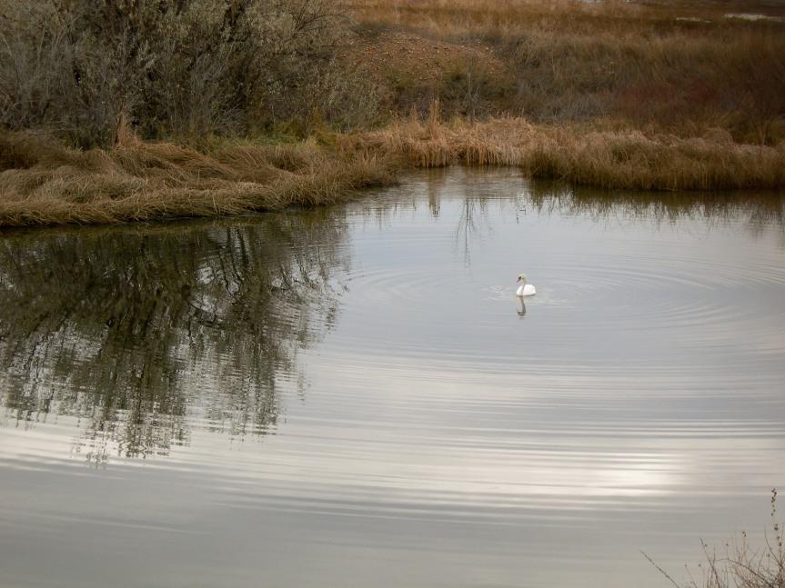 Swan in the Rings