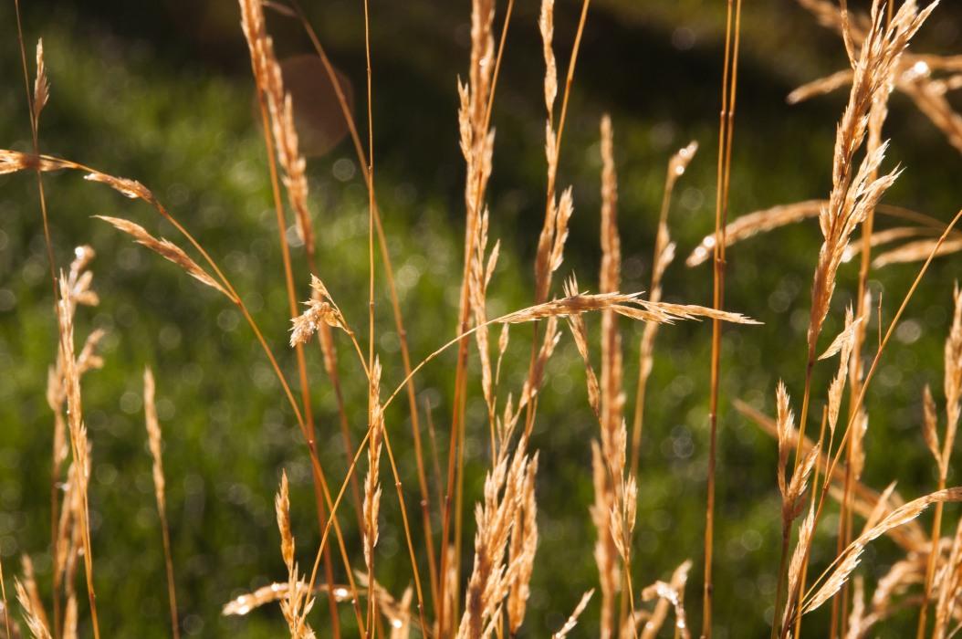 Dew on Tall Grass