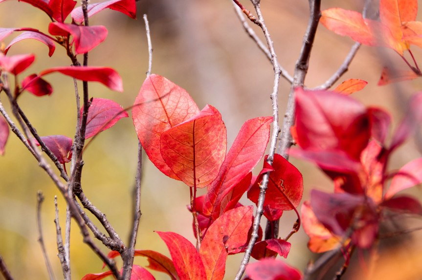 Red Leaves of Fall