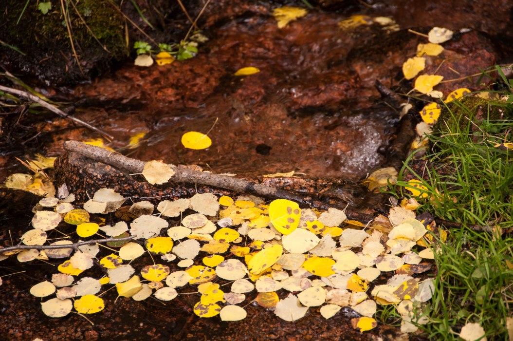 Aspen Leaves in a Mountain Stream