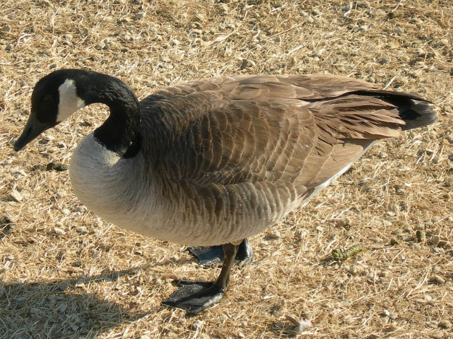 Another Goose