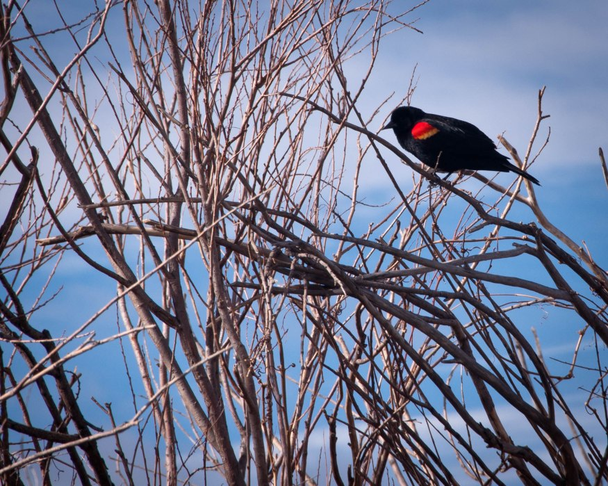 Red-Winged Black Bird in Bush