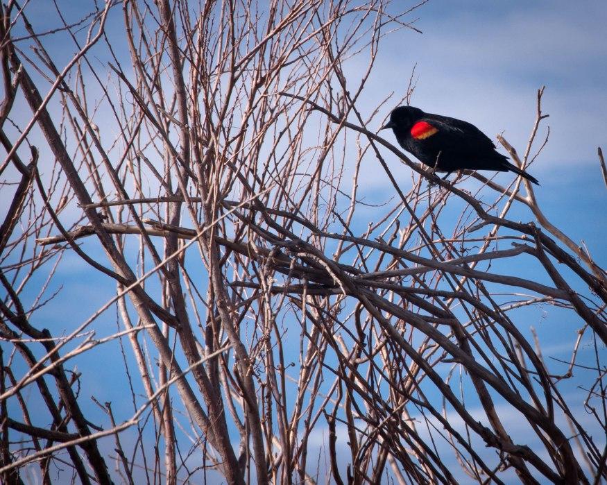 Red-Winged Black Bird in Bush