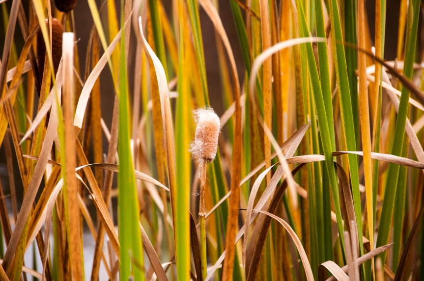 Cattail in the Grasses
