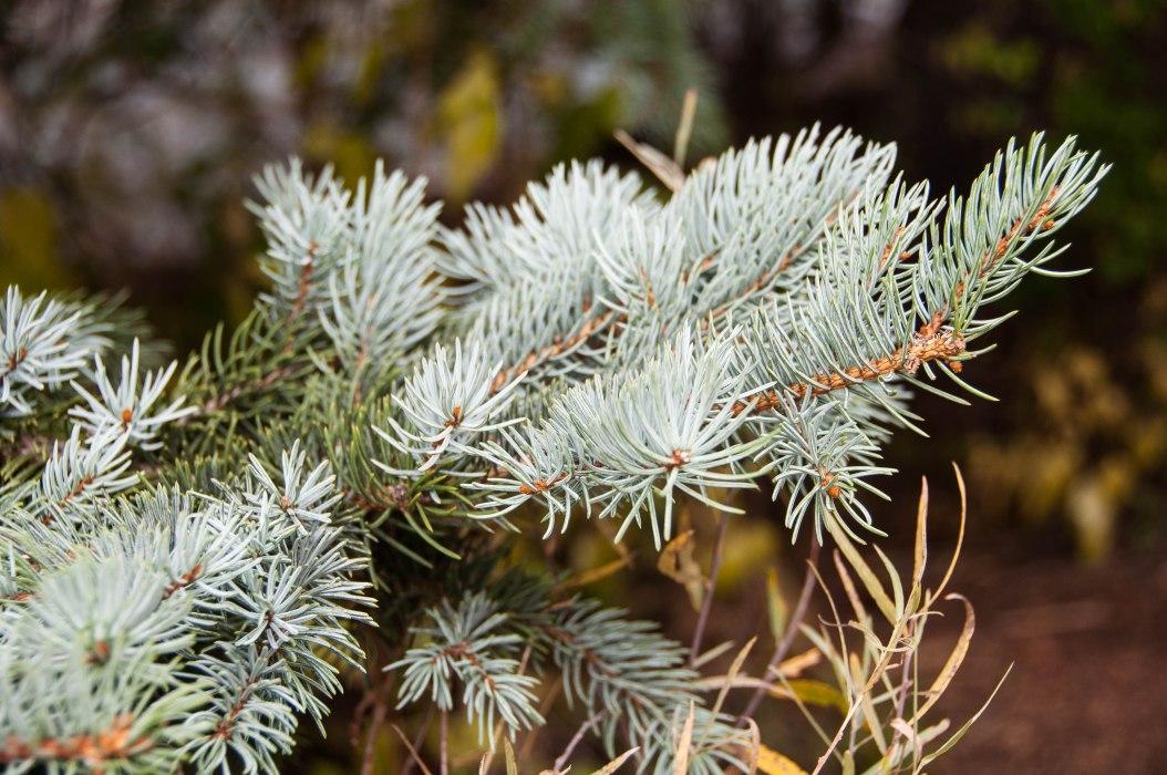Mountain Spruce Needles