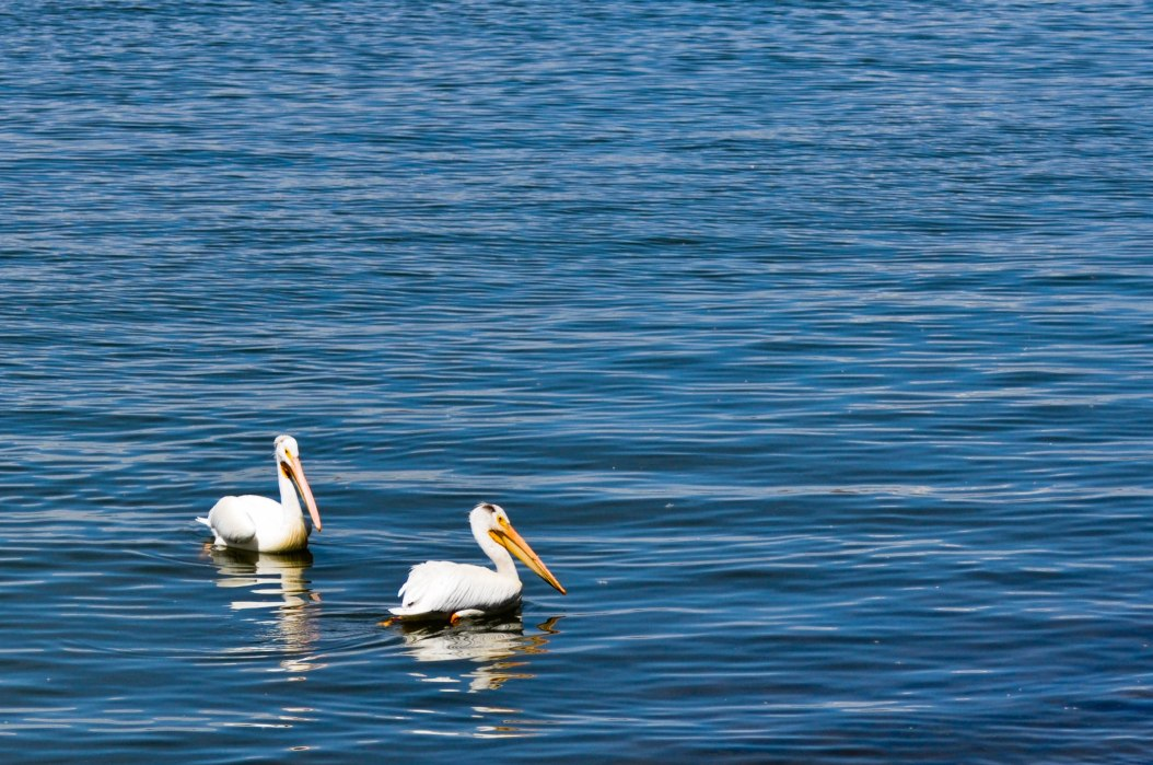 Pelicans in the Ripples