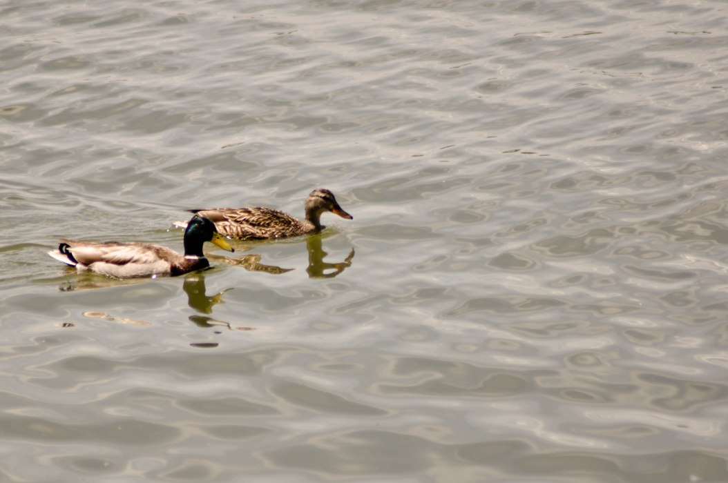 Mallard Couple Swims By