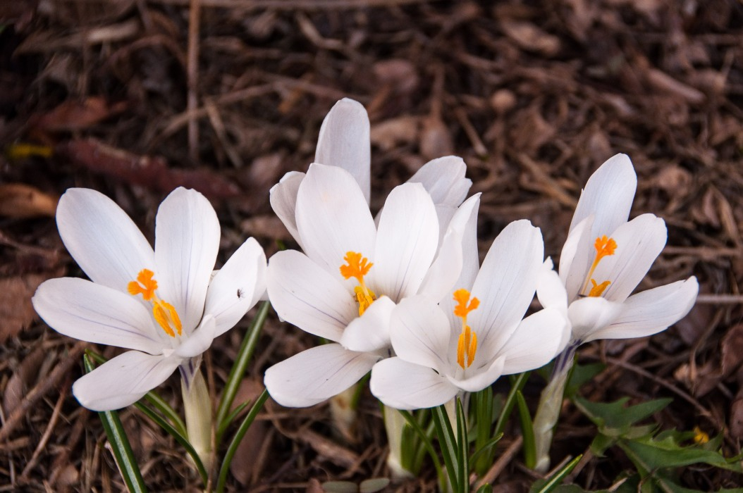 Crocuses: It Must Be Spring