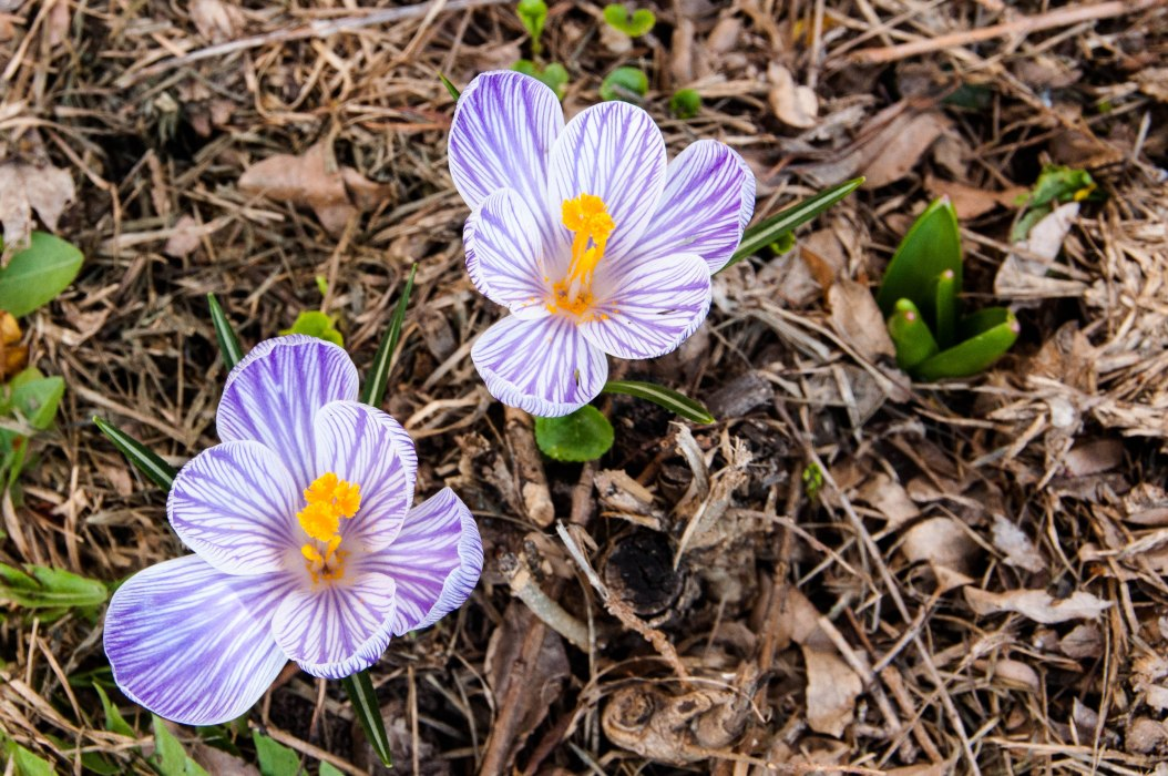 Multi-Colored Crocuses