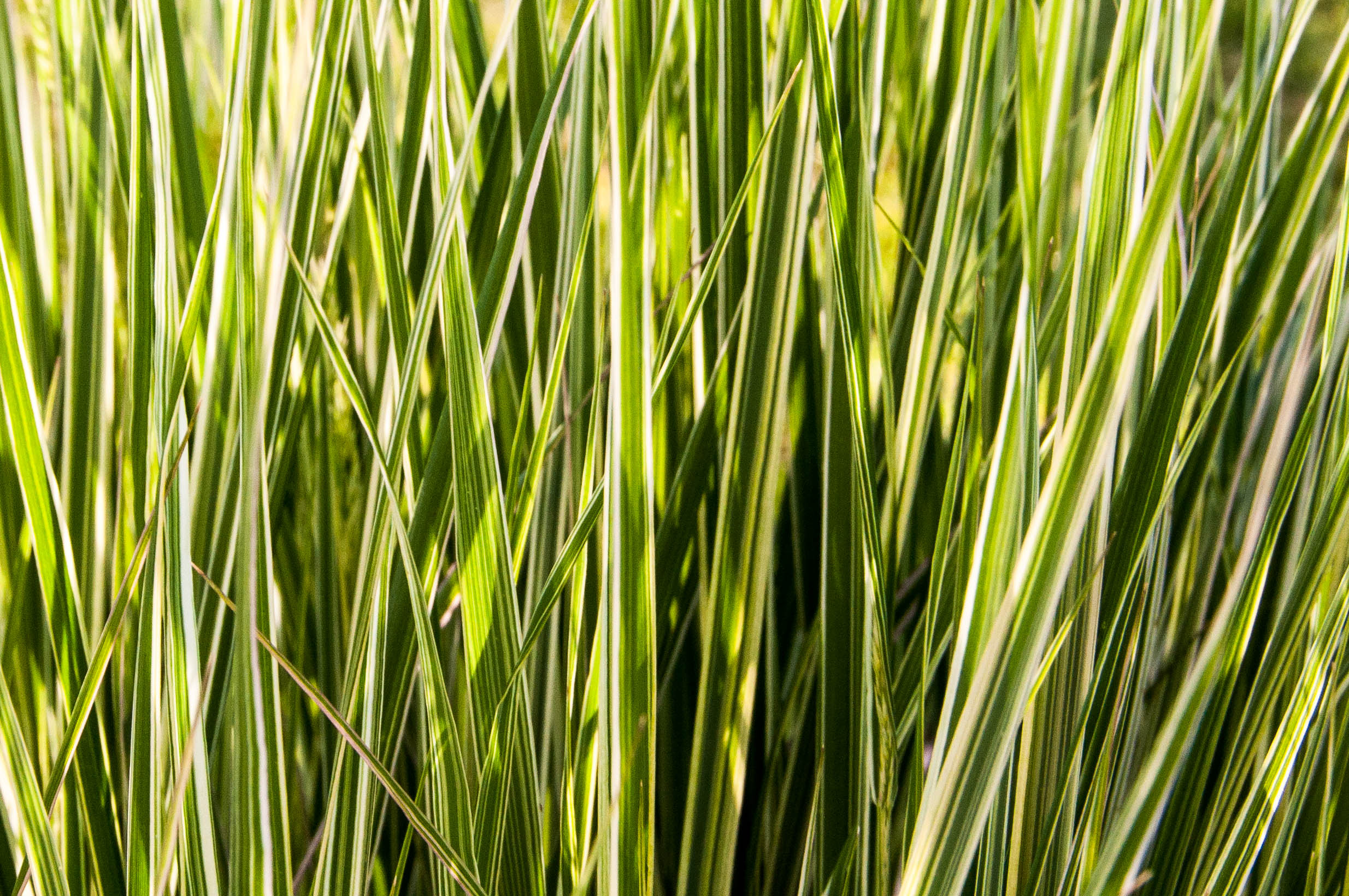 Tall grass in morning sun j b berger photography blog for Tall grasses for sun
