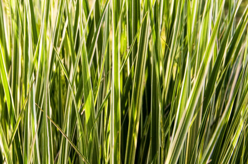 Tall Grass in Morning Sun