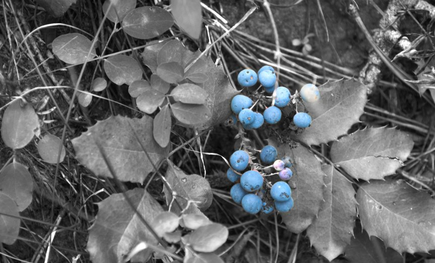 Blue Berries in Forest Leaves