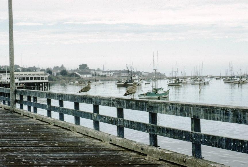Gulls Oversee Monterey Bay - 1968