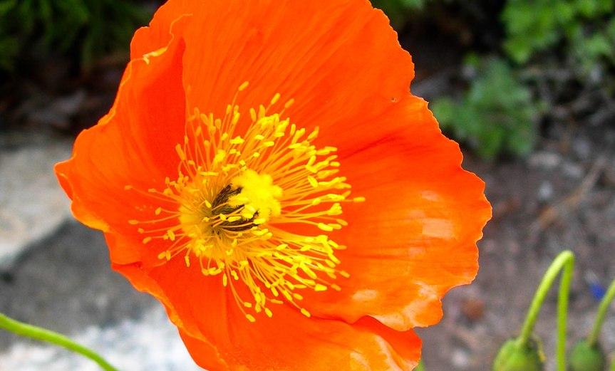 Poppy in Bright Orange & Yellow