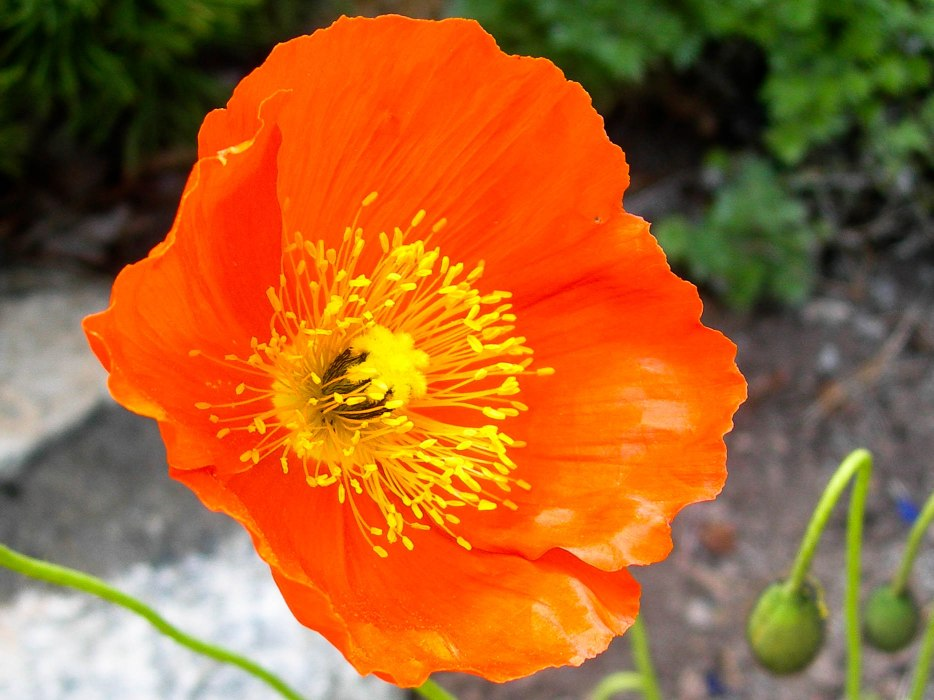 Poppy in Bright Orange & Yellow