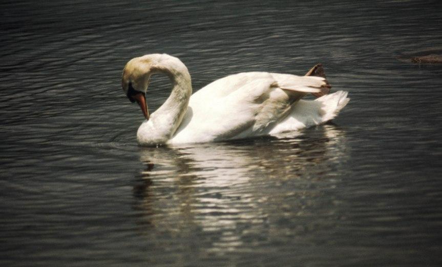 Japanese Swan - 1968