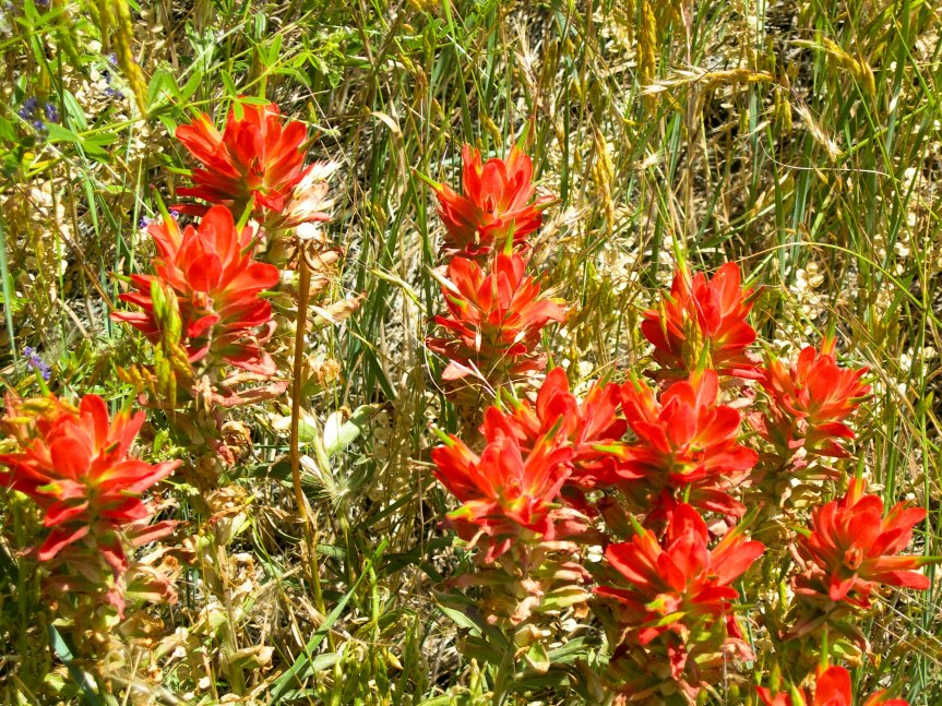 Indian Paintbrush in Tangle of Grass