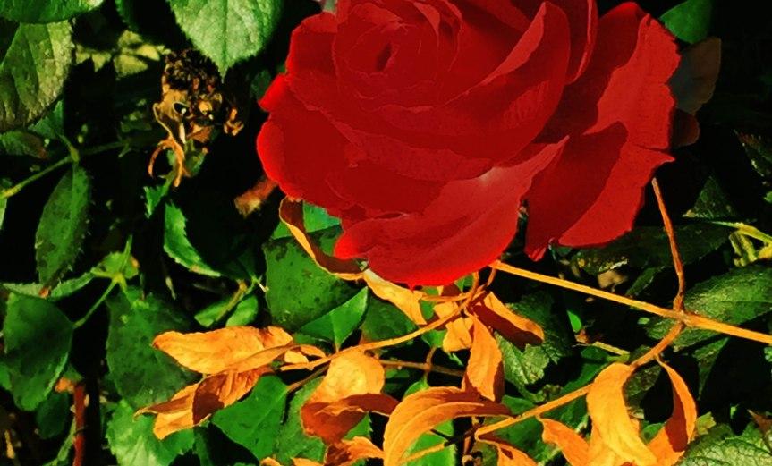Rose Amongst the Leaves