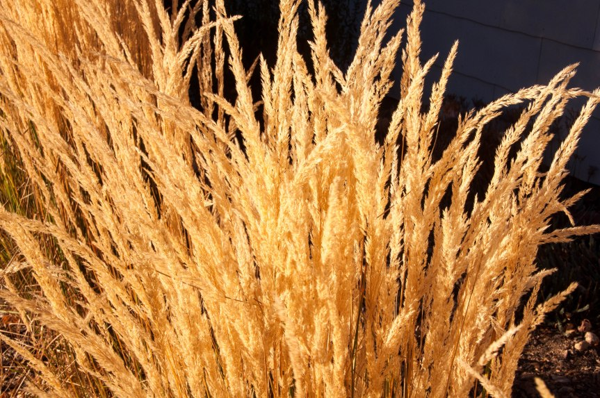 Golden Grasses in the Sun