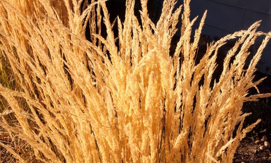 Golden Grasses in the Sun