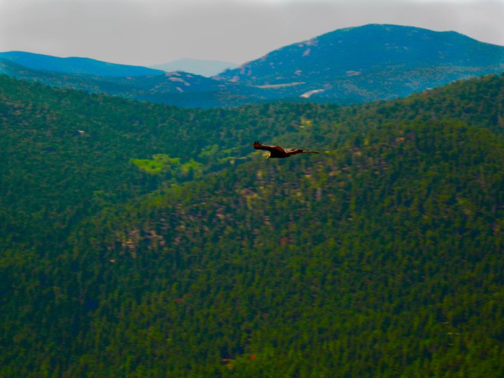 Eagle Soars Over Foothills