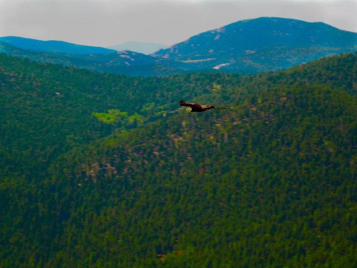 Eagle Soars Over Foothills
