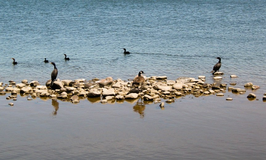 The Goose and the Cormorants