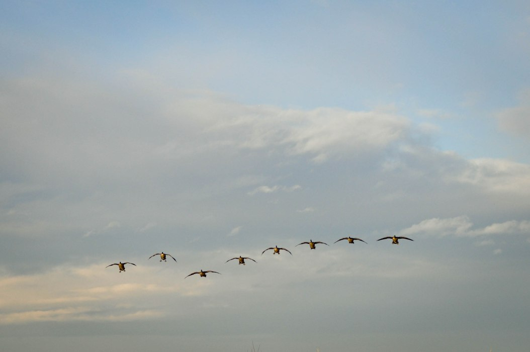 Squadron of Geese