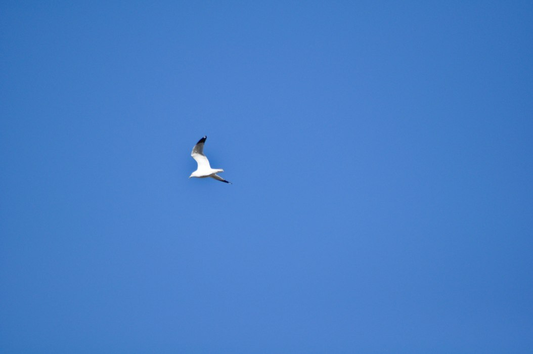 Gull in the Wild Blue Yonder