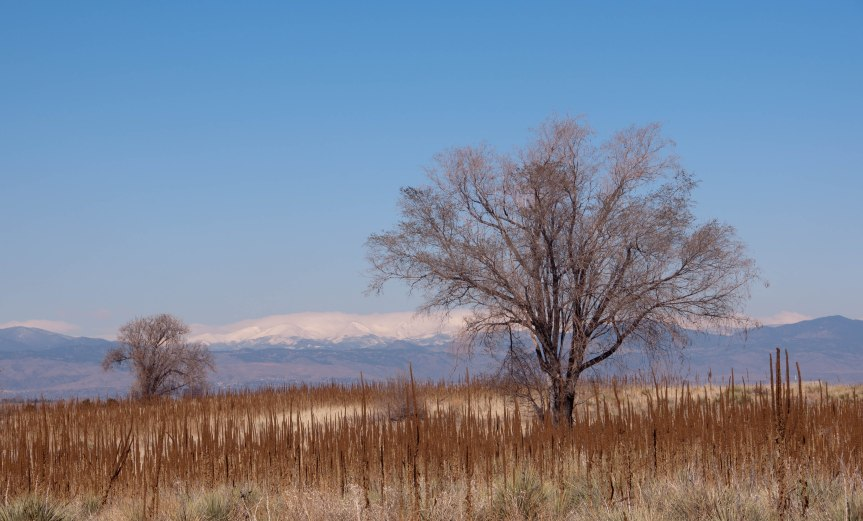 Two Trees in Cattails with Mountain Backdrop