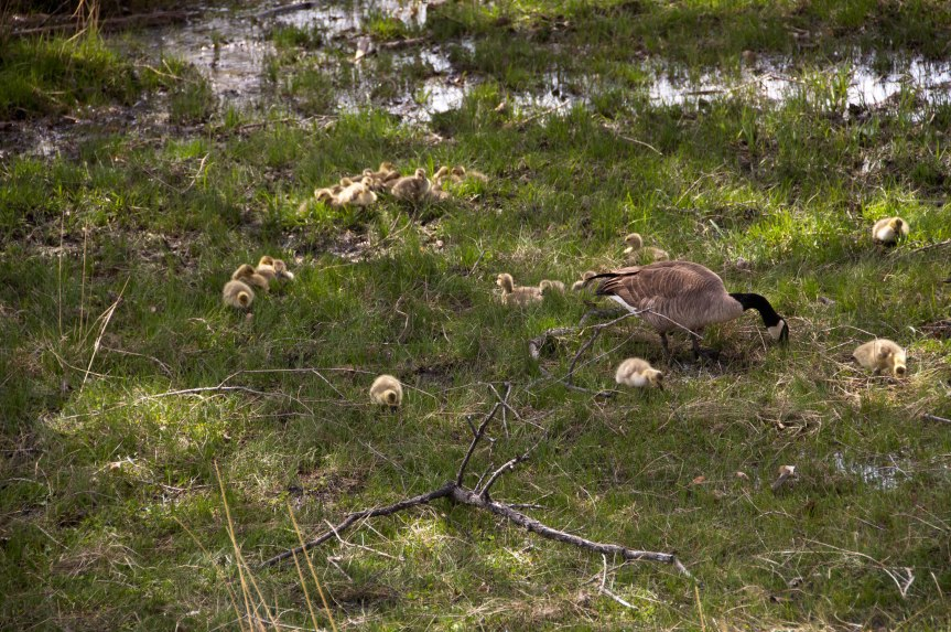 Mother Goose and Her Herd of Goslings