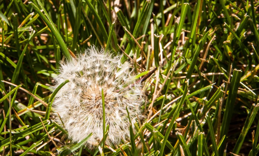 Dandelion in the Grass