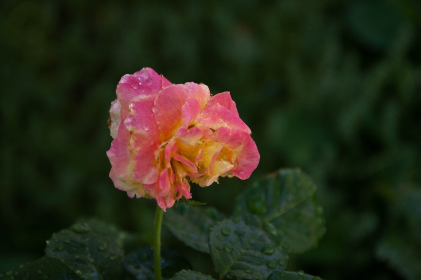 Rose with Morning Dew