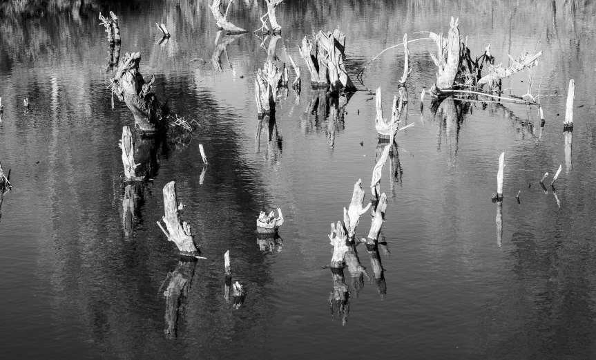 Stumps in a Pond (B&W)