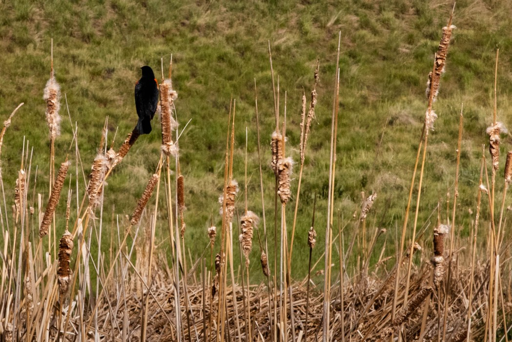 Red-winged Blackbird in the Cattails